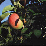 Apples, Red Hook, NY, 2001